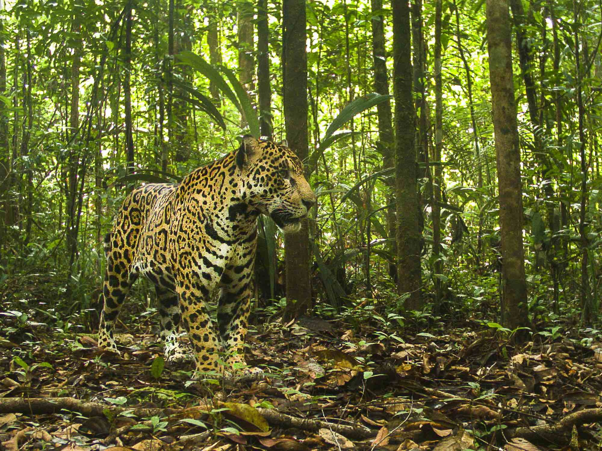 is_biodiversite_csg_jaguar.jpg